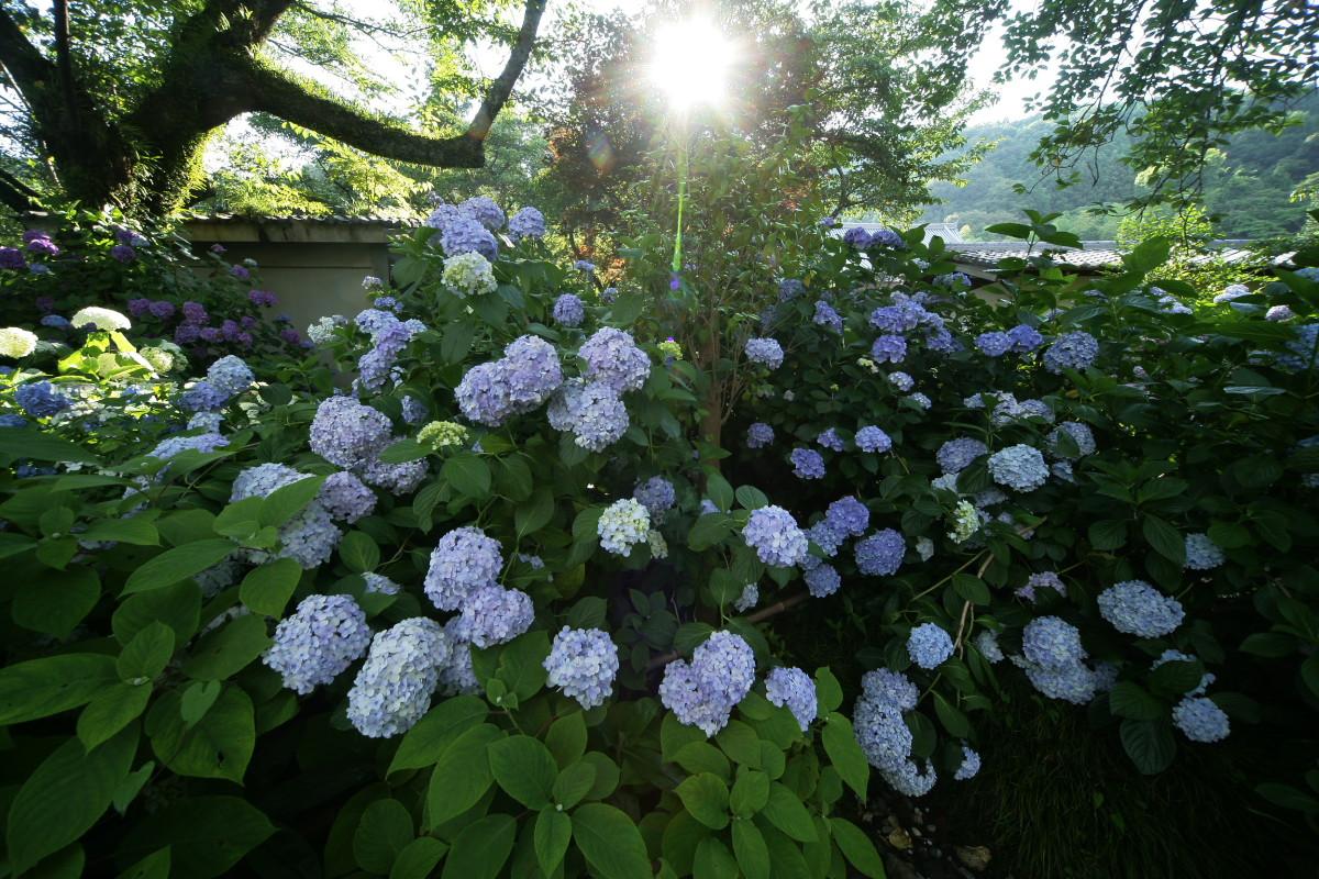 紫陽花 2011  <矢田寺>_f0021869_0234223.jpg