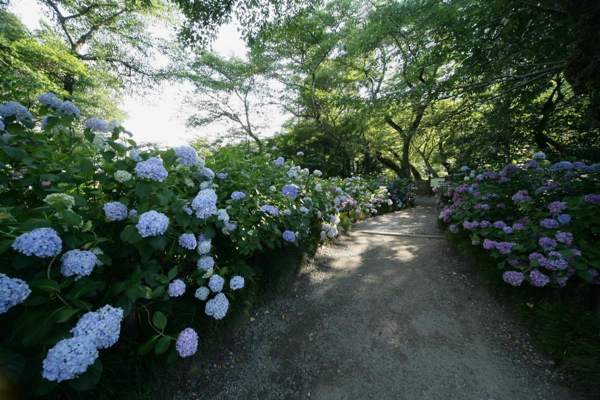 紫陽花 2011  <矢田寺>_f0021869_0243240.jpg