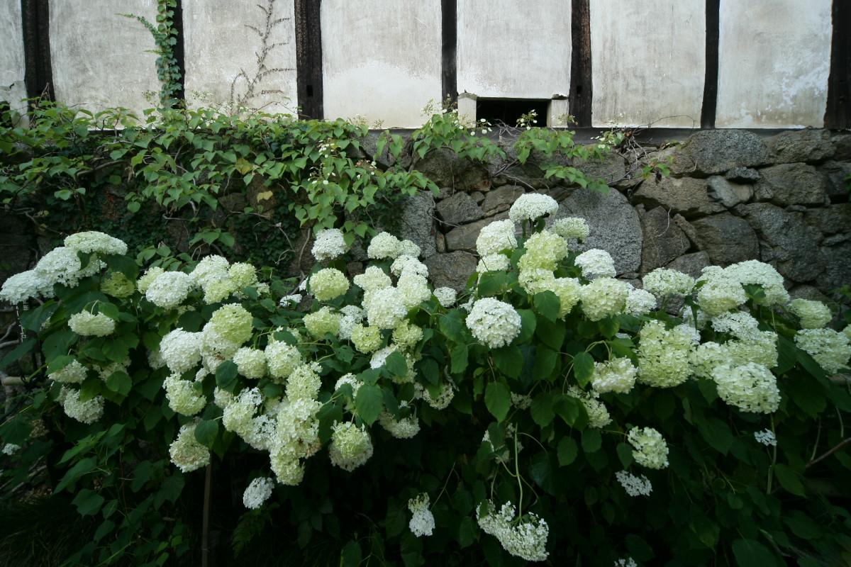 紫陽花 2011  <矢田寺>_f0021869_0254976.jpg