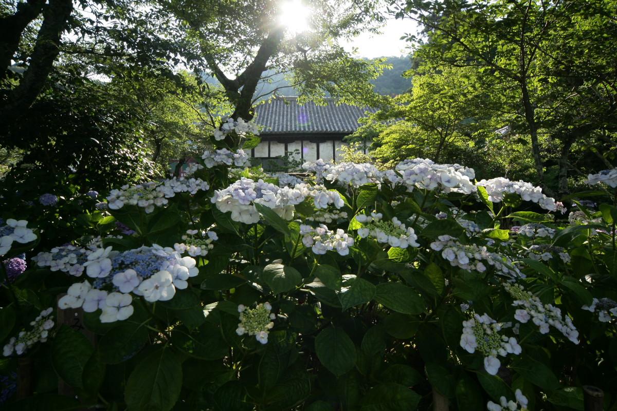 紫陽花 2011  <矢田寺>_f0021869_0261724.jpg