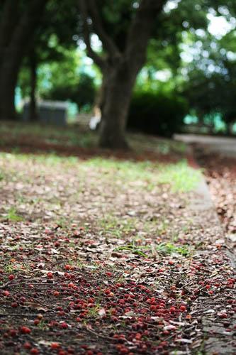 可愛らしいヤマモモと、ときどき猫_f0030085_20475544.jpg