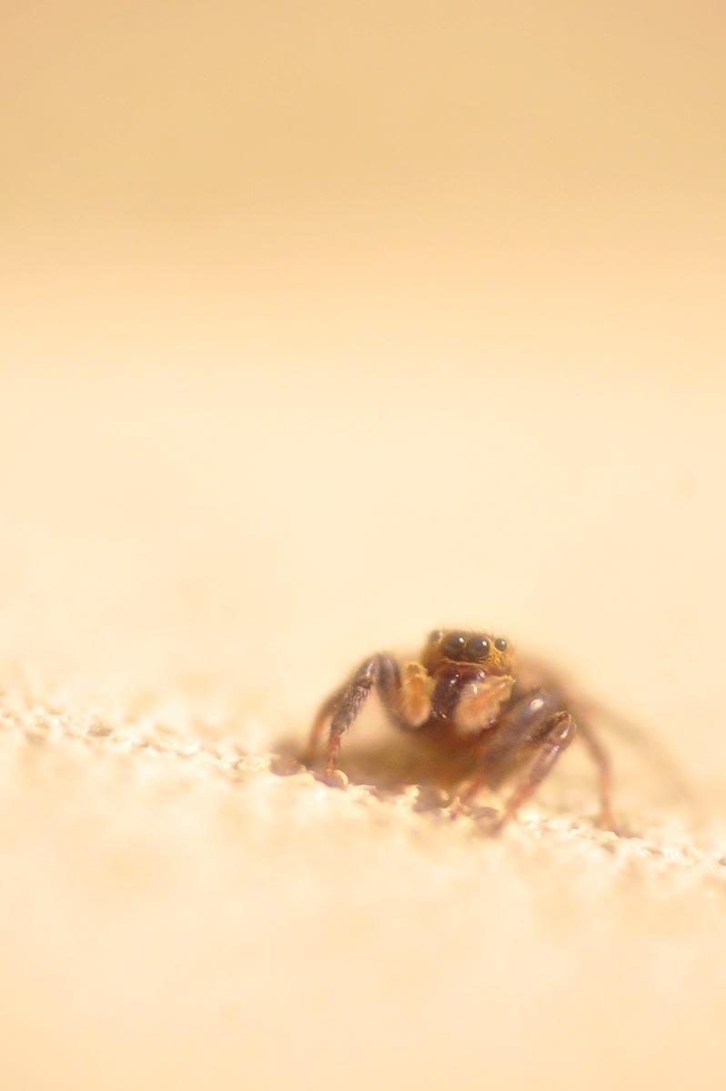 Jumping Spider_a0059621_20131372.jpg