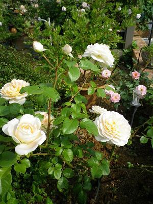 我が家のバラ・3と近況報告_e0086738_0503695.jpg