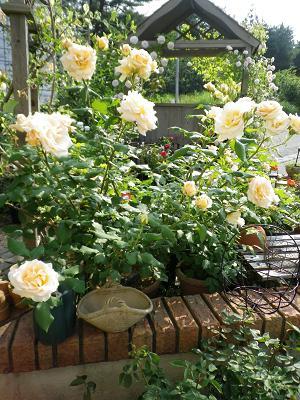 我が家のバラ・3と近況報告_e0086738_0534298.jpg