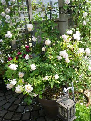 我が家のバラ・3と近況報告_e0086738_055062.jpg