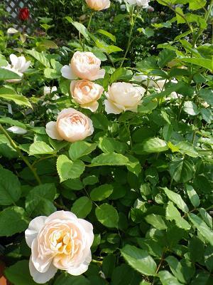 我が家のバラ・3と近況報告_e0086738_0571197.jpg