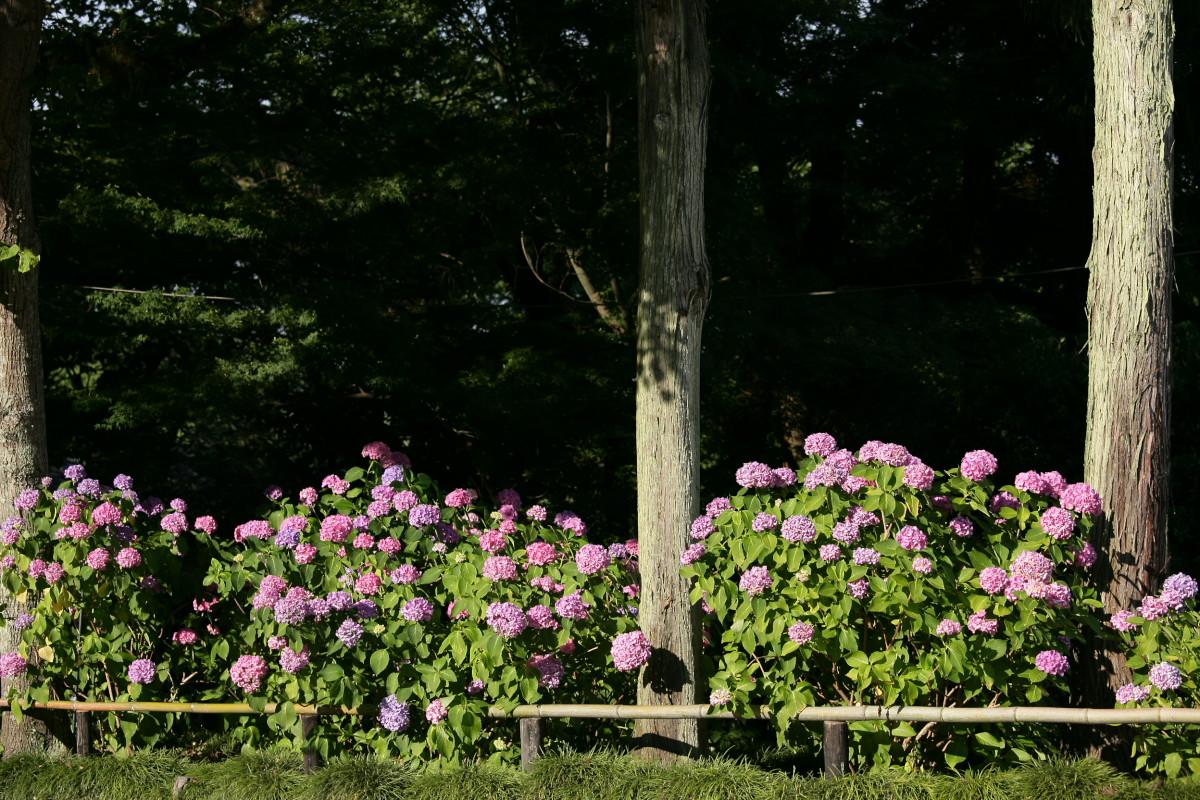 紫陽花 2011  <矢田寺>_f0021869_23141396.jpg
