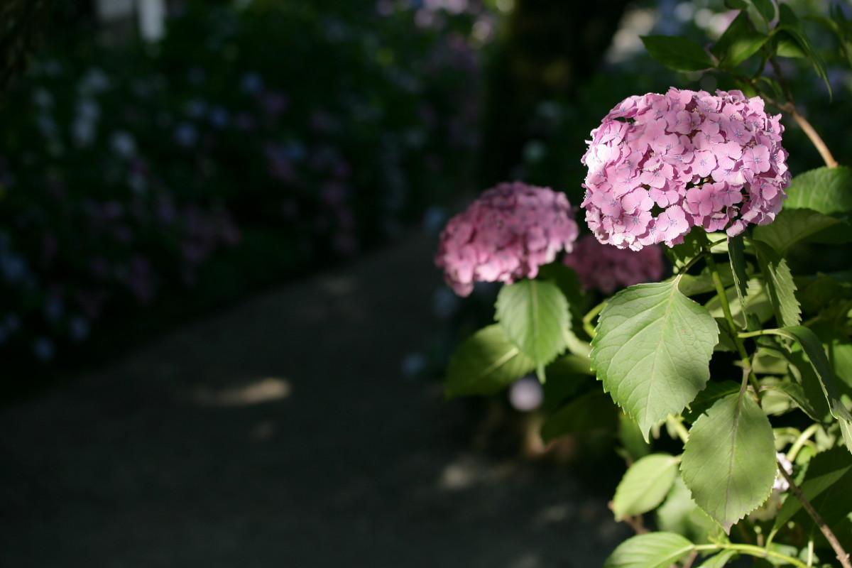 紫陽花 2011  <矢田寺>_f0021869_23144366.jpg