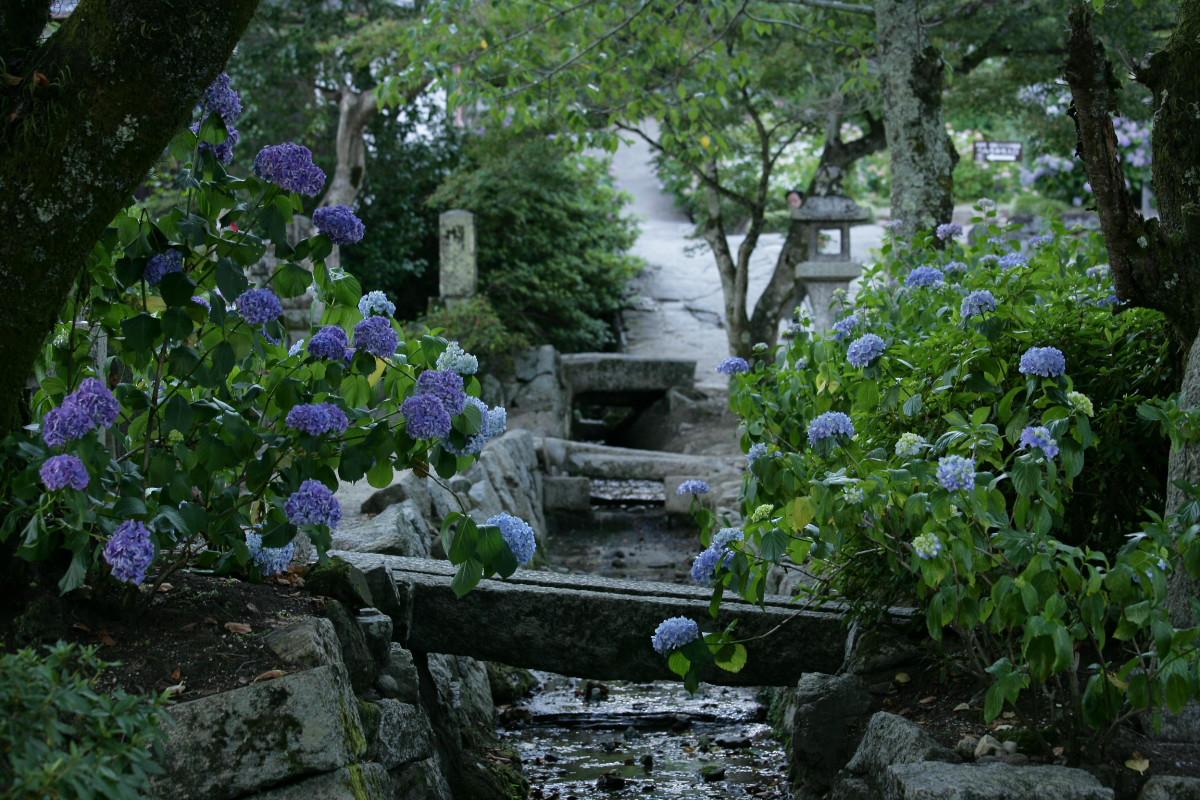 紫陽花 2011  <矢田寺>_f0021869_23155449.jpg
