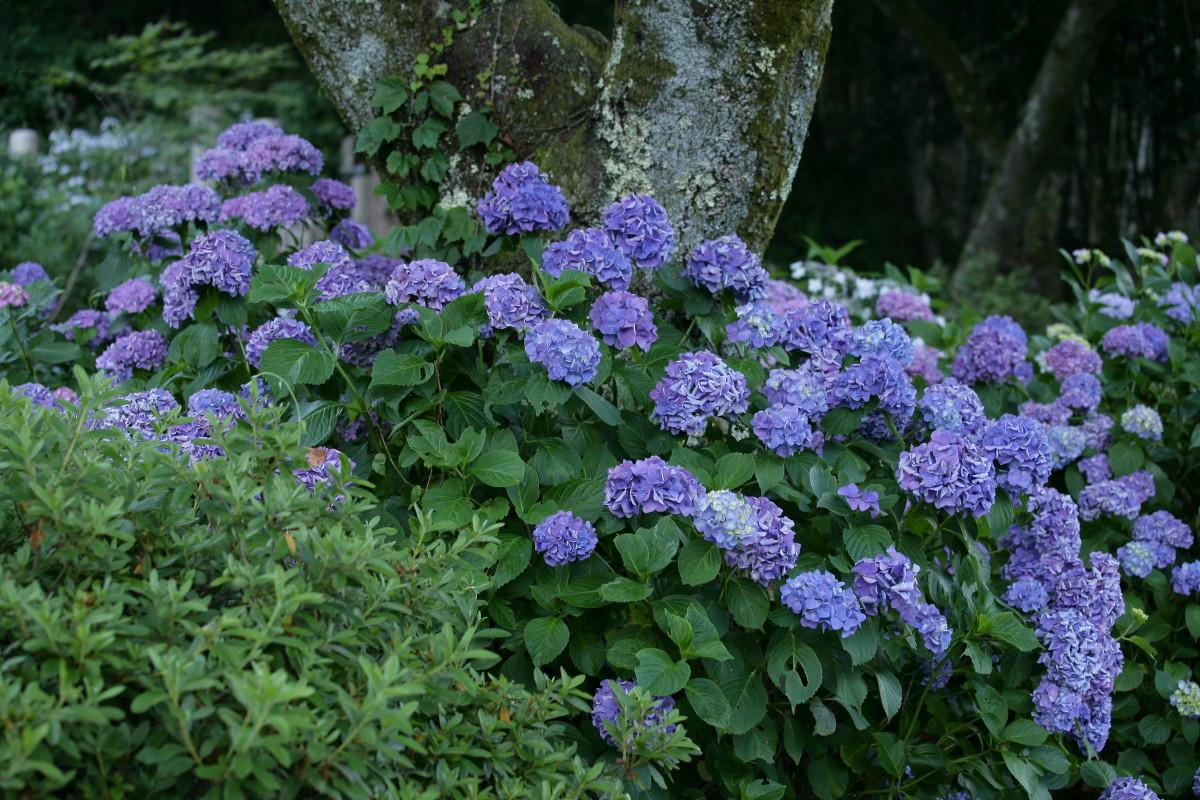紫陽花 2011  <矢田寺>_f0021869_23165031.jpg