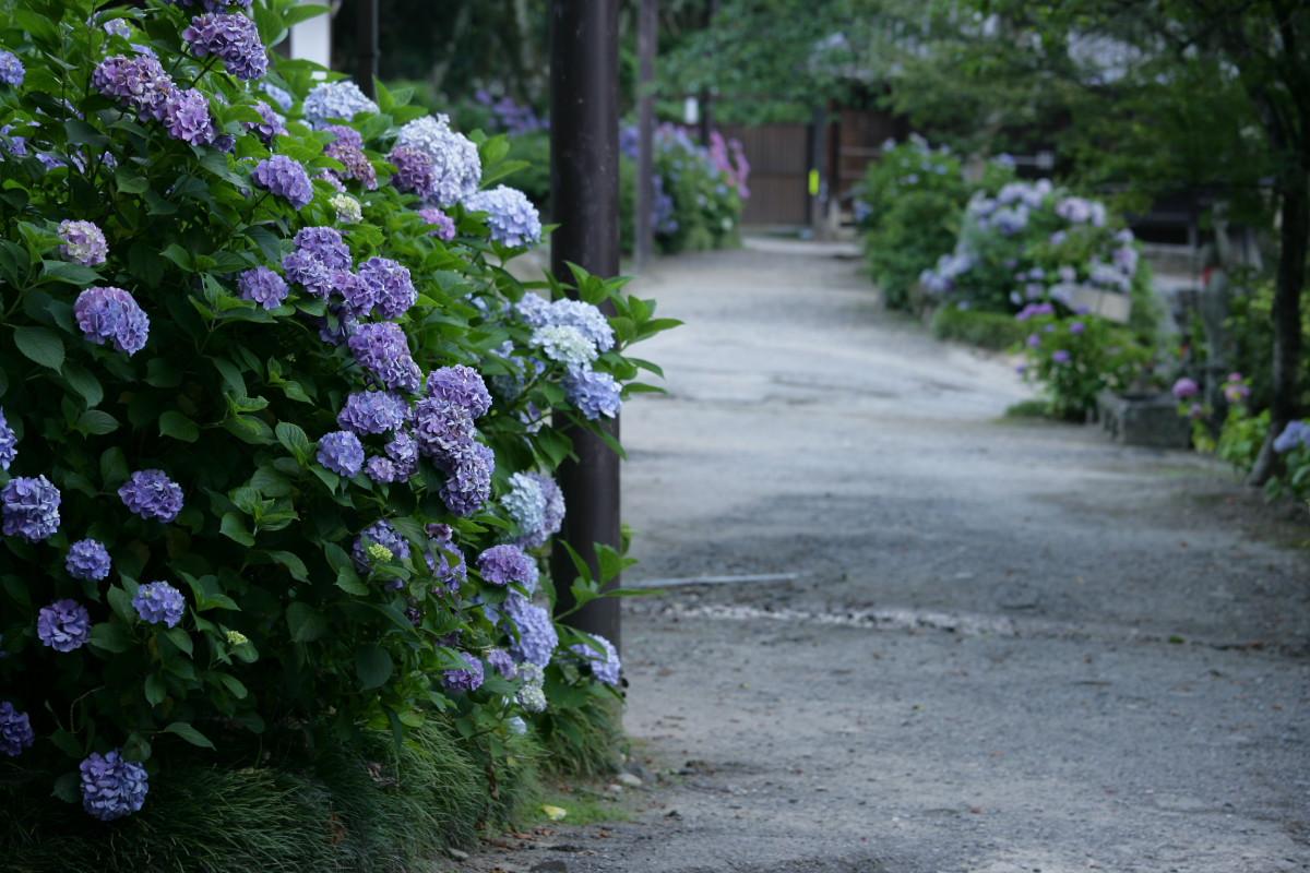 紫陽花 2011  <矢田寺>_f0021869_23172992.jpg