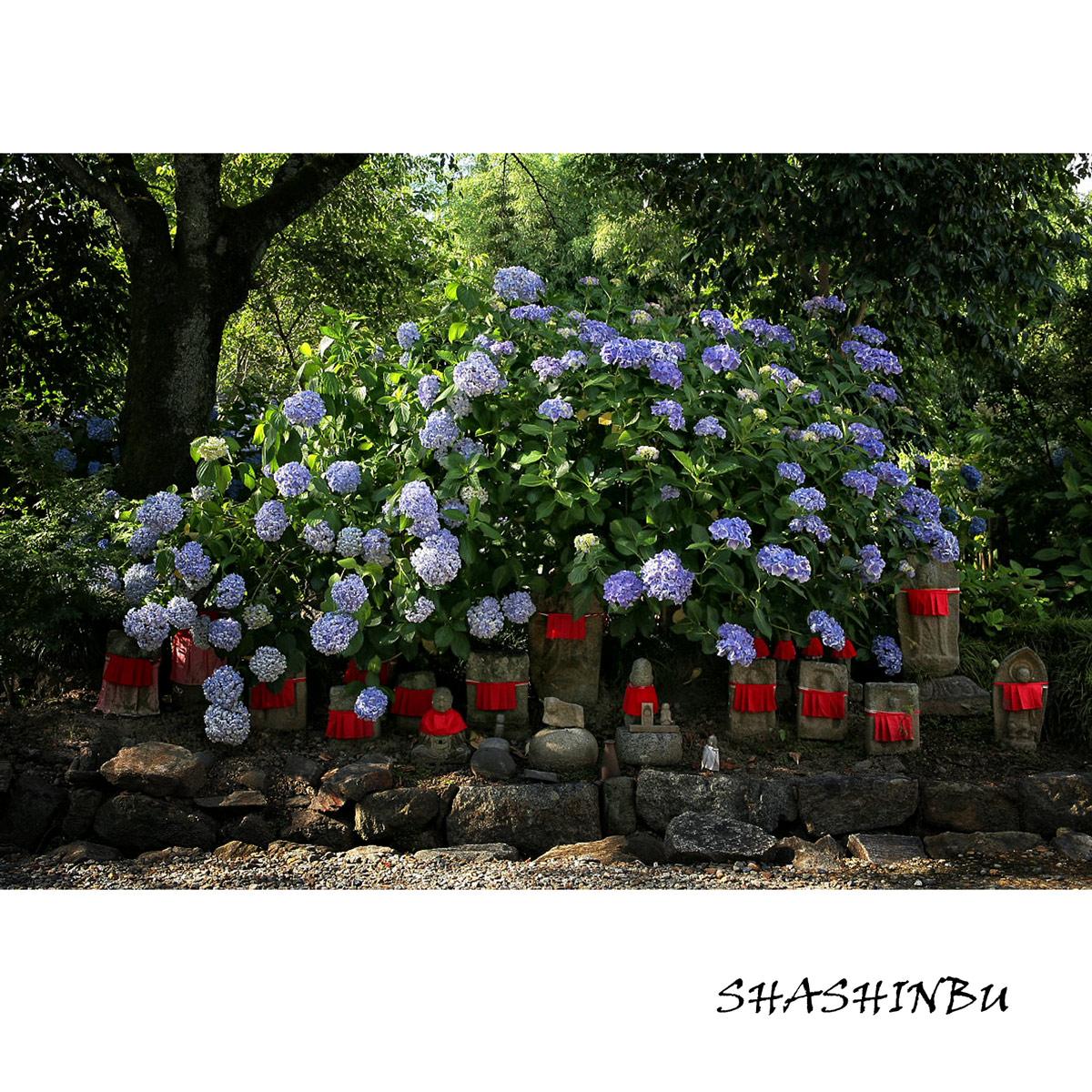 紫陽花 2011  <矢田寺>_f0021869_2320359.jpg