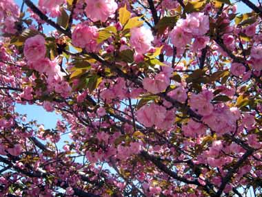 4/19.大阪造幣局通り抜け2._d0136282_16235492.jpg