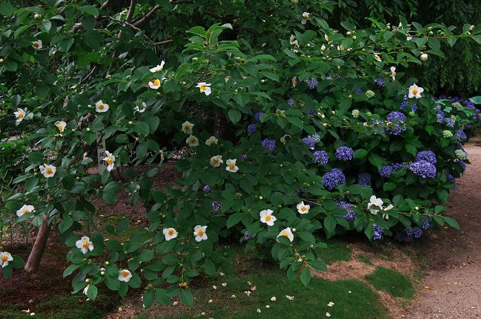 アジサイと沙羅の花(法金剛院)_f0155048_23473456.jpg