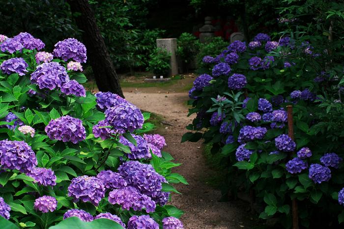 アジサイと沙羅の花(法金剛院)_f0155048_2348119.jpg