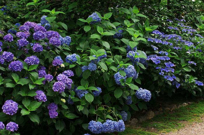 アジサイと沙羅の花(法金剛院)_f0155048_23481313.jpg