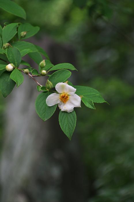 アジサイと沙羅の花(法金剛院)_f0155048_2348171.jpg