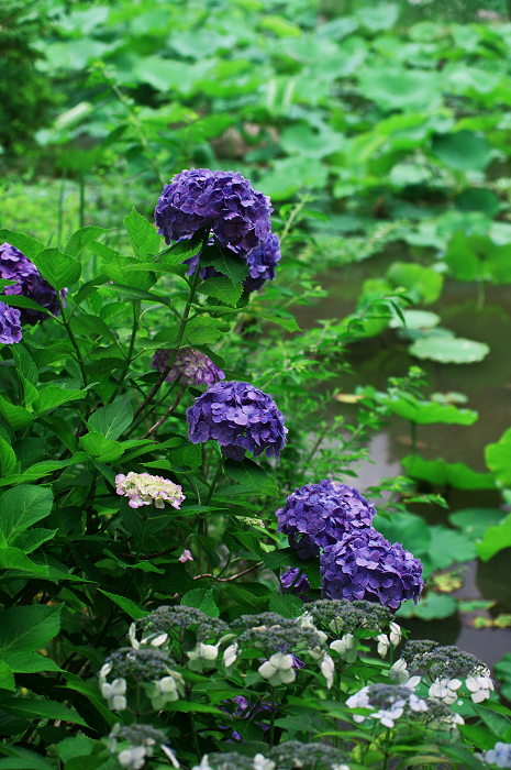 アジサイと沙羅の花(法金剛院)_f0155048_23482438.jpg