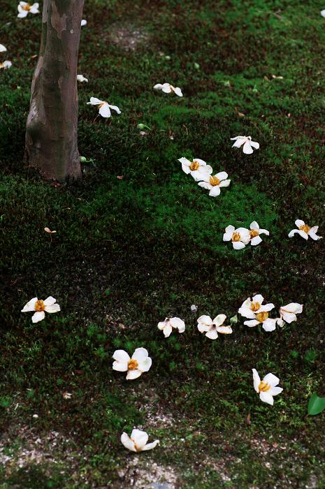 アジサイと沙羅の花(法金剛院)_f0155048_2348433.jpg