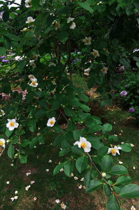 アジサイと沙羅の花(法金剛院)_f0155048_23484786.jpg