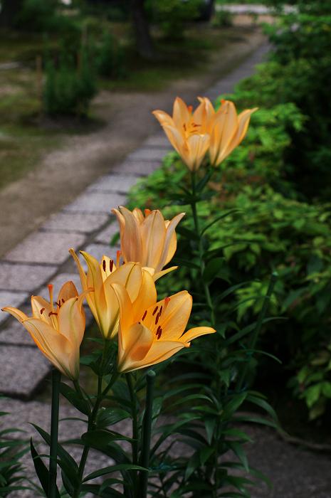 アジサイと沙羅の花(法金剛院)_f0155048_2348662.jpg