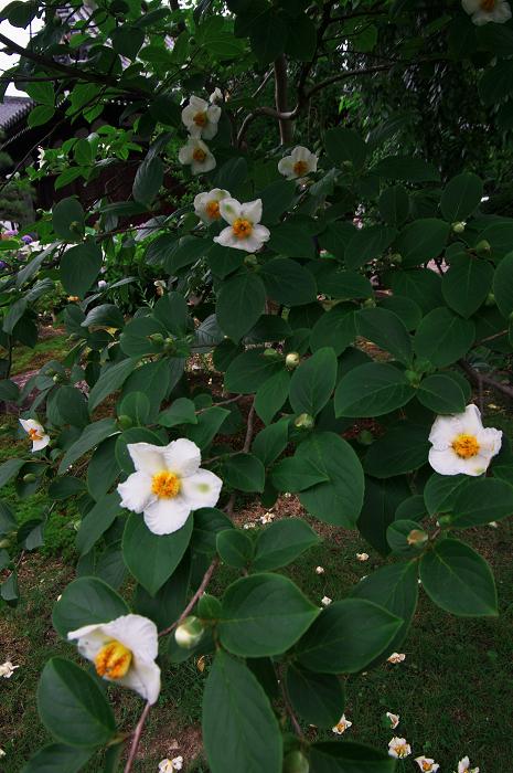 アジサイと沙羅の花(法金剛院)_f0155048_2349820.jpg