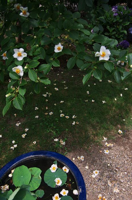 アジサイと沙羅の花(法金剛院)_f0155048_2350481.jpg