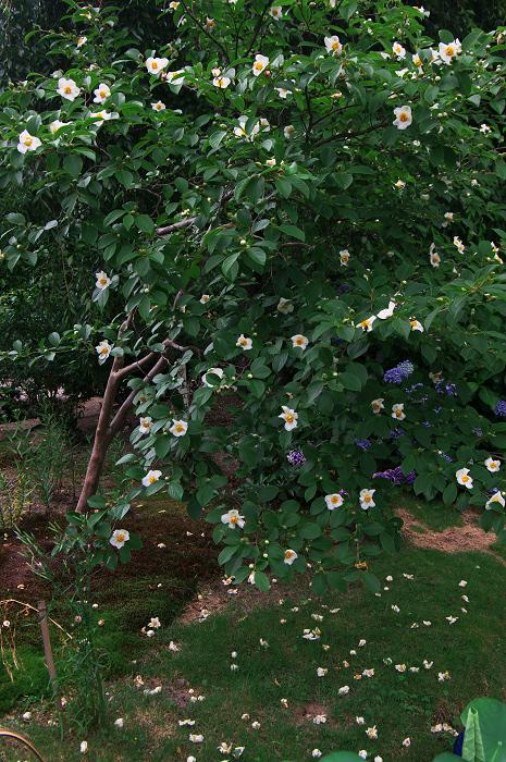 アジサイと沙羅の花(法金剛院)_f0155048_23512968.jpg