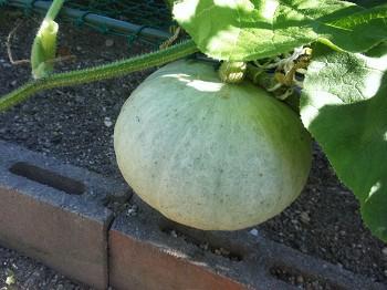 かぼちゃの収穫・・・はてさて?_a0089450_23353767.jpg