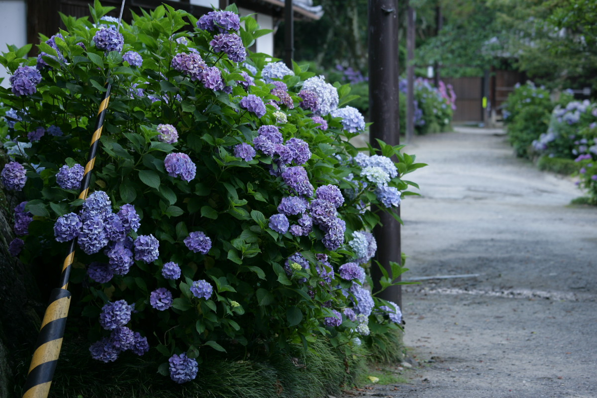 紫陽花 2011  <矢田寺>_f0021869_2382389.jpg