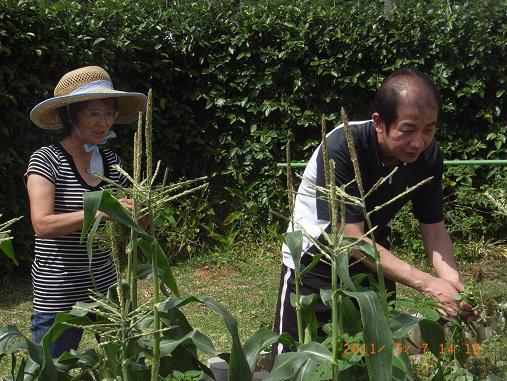 トウモロコシ&インゲン収穫しました~♡_d0163307_1163780.jpg