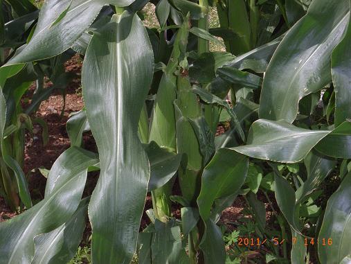 トウモロコシ&インゲン収穫しました~♡_d0163307_1165438.jpg