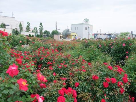 バラ園の花満開です!_d0072917_13384879.jpg