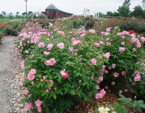 バラ園の花満開です!_d0072917_13395667.jpg