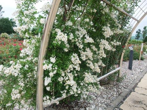 バラ園の花満開です!_d0072917_13405990.jpg