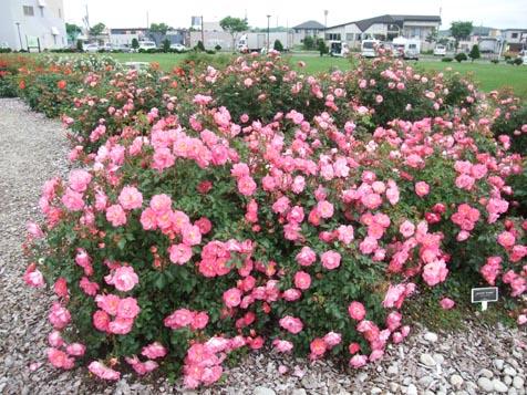バラ園の花満開です!_d0072917_13414040.jpg