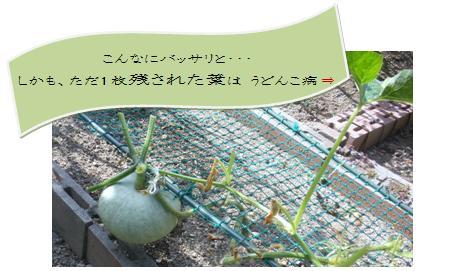 かぼちゃの収穫・・・はてさて?_a0089450_9335732.jpg