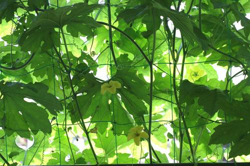 緑のカーテン(ゴーヤ)_d0150720_6165018.jpg