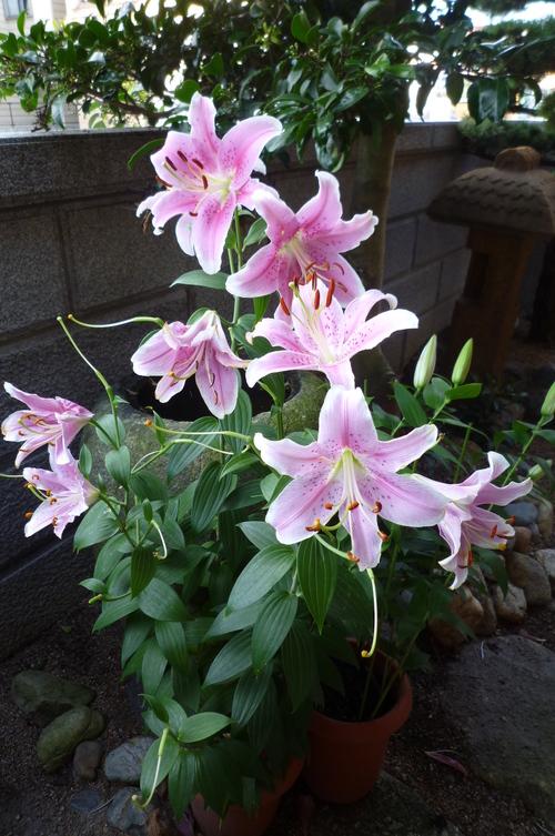 今年も咲いたよ、ささゆり_a0137981_17451539.jpg