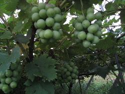 柿と葡萄のこの頃。_f0018099_13294134.jpg