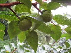 柿と葡萄のこの頃。_f0018099_13354596.jpg