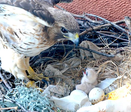 ニューヨーク大学の窓で育った鷹の赤ちゃんが無事に巣立ちました_b0007805_6541492.jpg