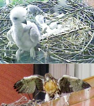 ニューヨーク大学の窓で育った鷹の赤ちゃんが無事に巣立ちました_b0007805_7122947.jpg