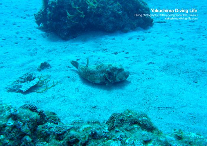 キタマクラの大群!体験でウミガメ連発。。。_b0186442_2323542.jpg