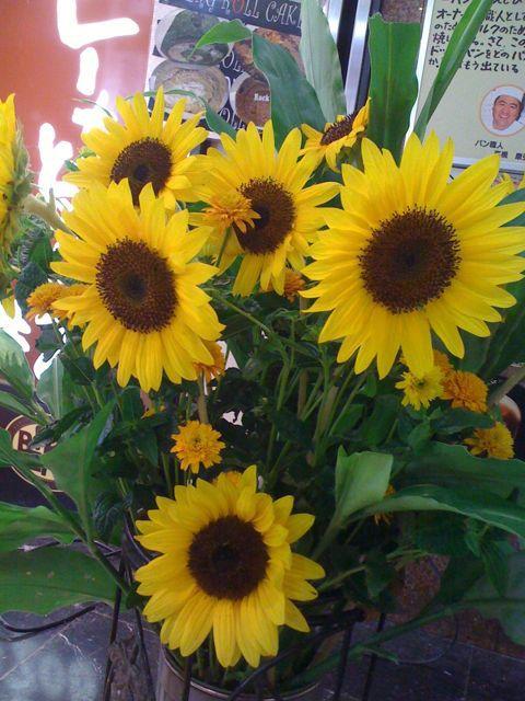 夏!ひまわりとベルクのあいだで。一方店内ではコスモスが咲いているのでした。_c0069047_21284864.jpg