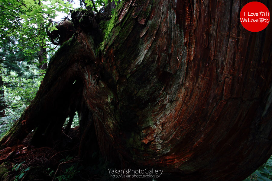 立山カントリーウォーク「森を感じる1日~大人の休日編」06 更に奥の立山杉へ_b0157849_14373195.jpg