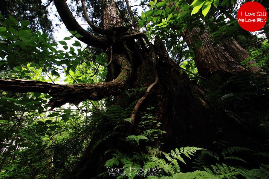 立山カントリーウォーク「森を感じる1日~大人の休日編」06 更に奥の立山杉へ_b0157849_14392638.jpg