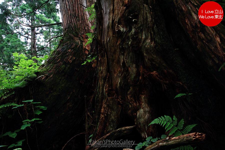 立山カントリーウォーク「森を感じる1日~大人の休日編」06 更に奥の立山杉へ_b0157849_14403215.jpg