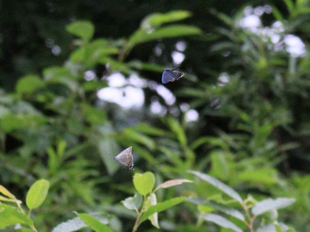 ジョウザンミドリシジミ  新鮮個体に感動です。 2011.7.8長野県_a0146869_571094.jpg