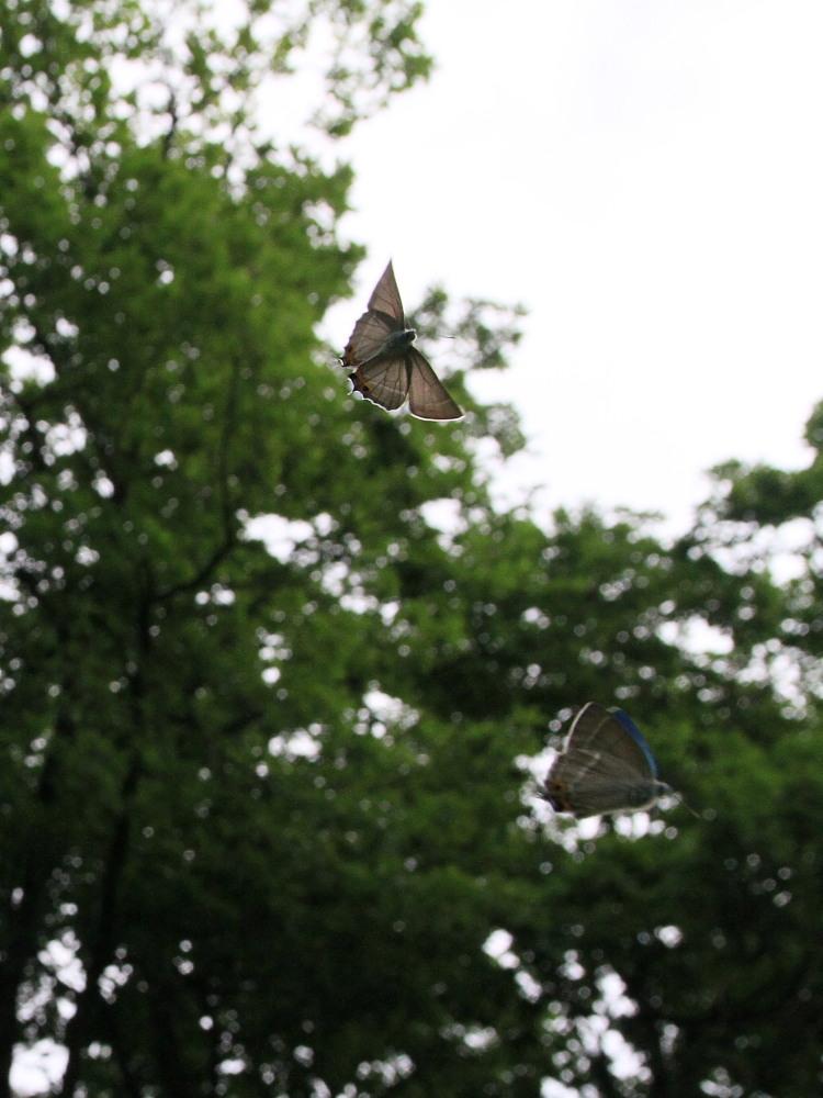 ジョウザンミドリシジミ  新鮮個体に感動です。 2011.7.8長野県_a0146869_575743.jpg